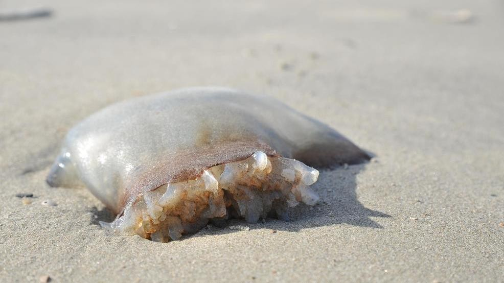 213 jellyfish stings reported on Isle of Palms Saturday by 3